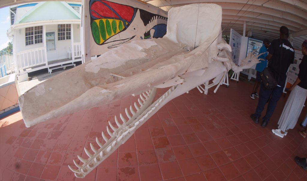 Sperm Whale skeleton at Anchorage Hotel and Whale Watching Center in Dominica